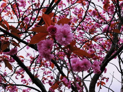 Cherry Blossoms 1-min