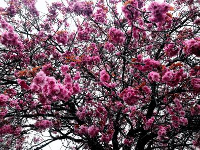 Cherry Blossoms 2-min
