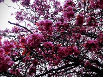 Cherry Blossoms 3-min