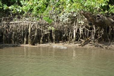 small crocodile in the Daintree River