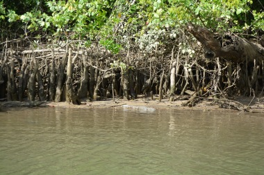 small crocodile in the Daintree River