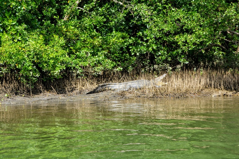 Scarface the Crocodile in the Daintree River