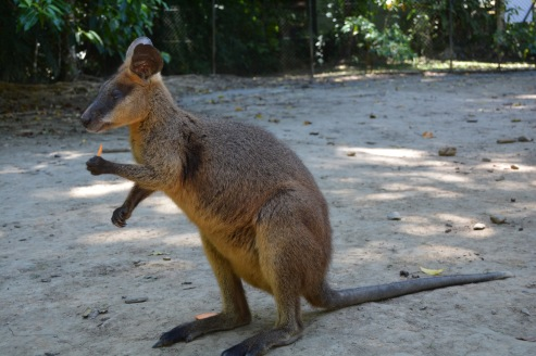 wallaby with a small piece of sweet potato