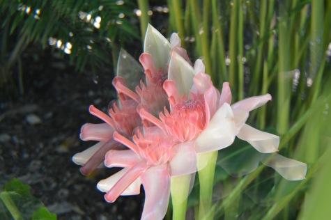 Flowers Botanic Garden Cairns 4