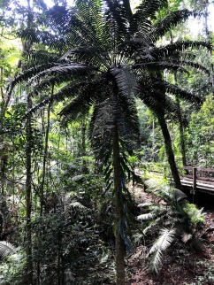 Fern - Daintree National Park