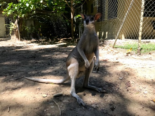 wallaby at Lync haven