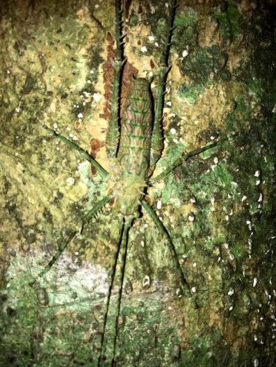 Katydid in Daintree National Park