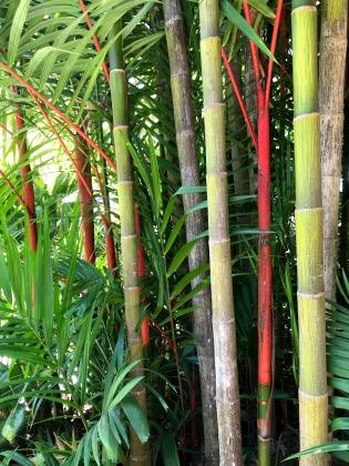 Bamboo Flecker Botanic Gardens Cairns