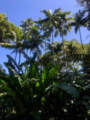 Flecker Botanic Gardens Cairns Palm Trees