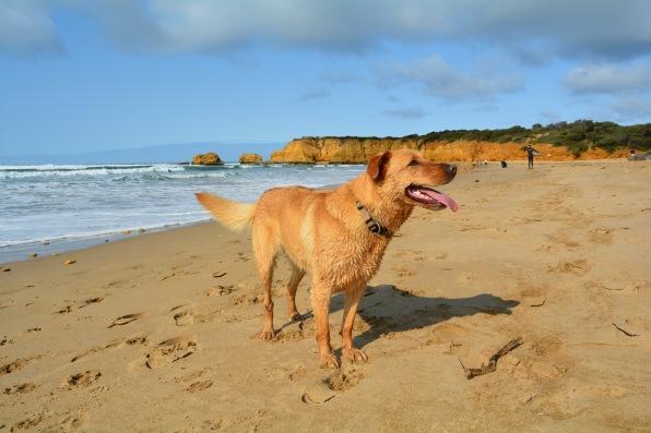Cute dog at the beach in Torquay