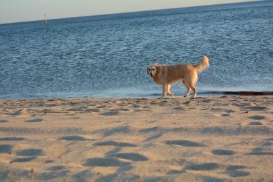 Dog on St Kilda Beach 1