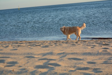Dog on St Kilda Beach 1