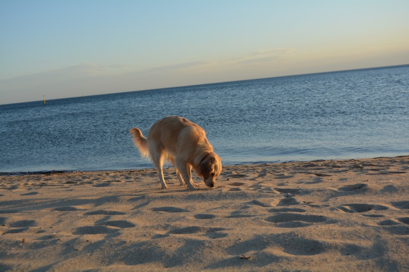 Dog on St Kilda Beach 2