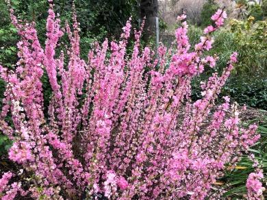 Pink Flowers Royal Botanic Garden