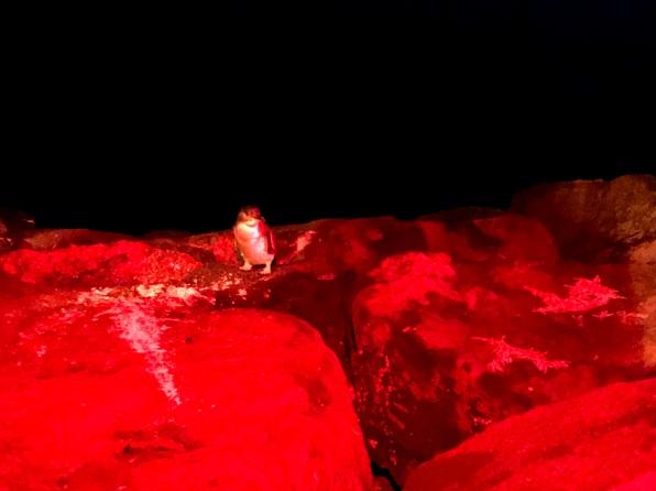 St Kilda Penguin 4