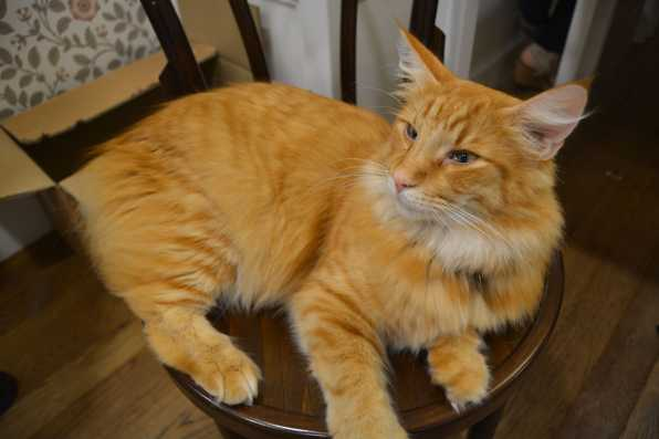 Cat on Chair - Cat Cafe Liverpool